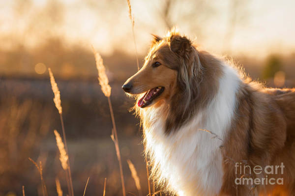 Wall Art - Photograph - Portrait Of Rough Collie At Sunset by Grigorita Ko