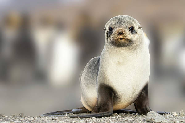Wall Art - Photograph - Portrait Of Seal Pup On The Beach Of St by Tom Norring