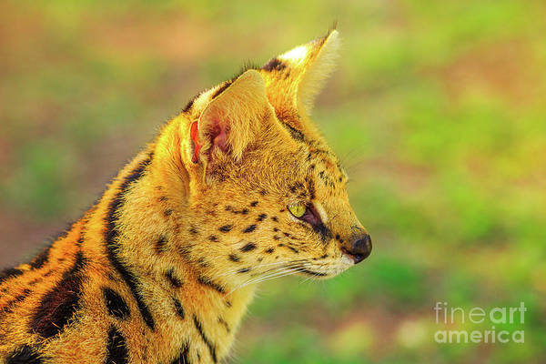 Photograph - Portrait Of Serval by Benny Marty