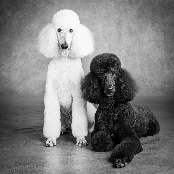 Wall Art - Photograph - Portrait Of Standard Poodle Dogs by Panoramic Images