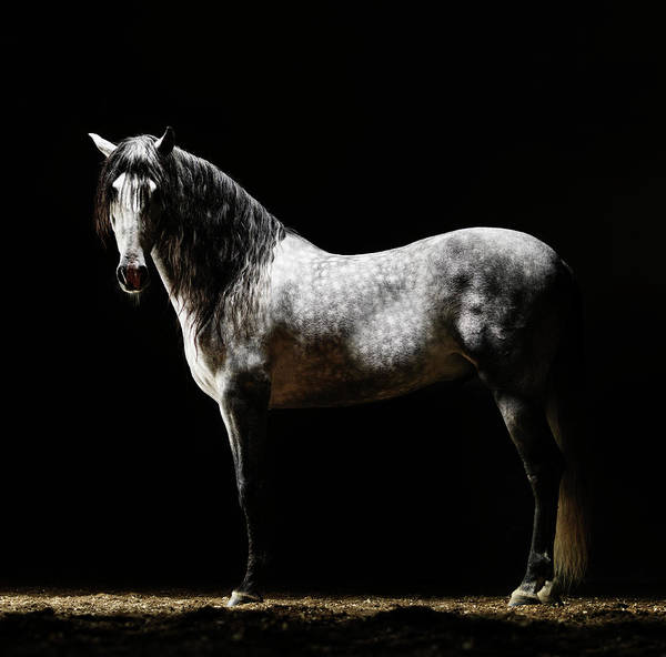 Black Background Photograph - Portrait Of Standing Grey Horse by Henrik Sorensen
