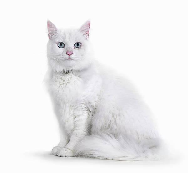 Photograph - Portrait Of White Cat by Gandee Vasan