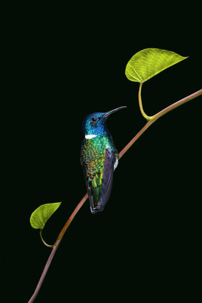 Wall Art - Photograph - Portrait Of White-necked Jacobin by Panoramic Images