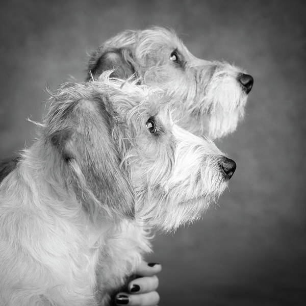 Wall Art - Photograph - Portrait Of Wire Hair Mini Dachsund Dogs by Panoramic Images