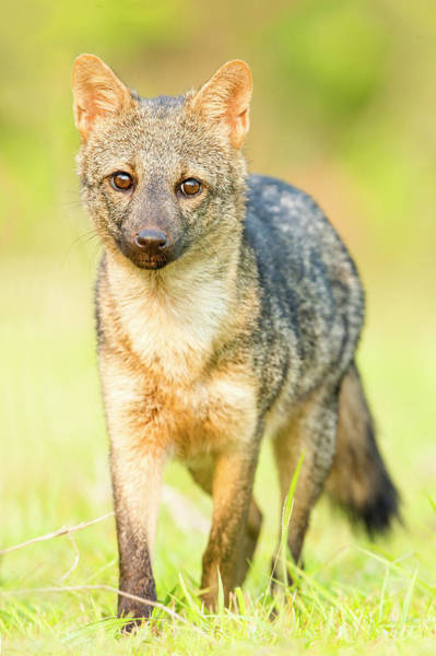 Wall Art - Photograph - Portrait Of Young Brown Fox Standing by Panoramic Images