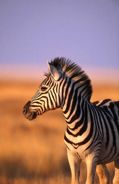 Mammal Photograph - Portrait Of Young Burchells Zebra Equus by Andrew Parkinson
