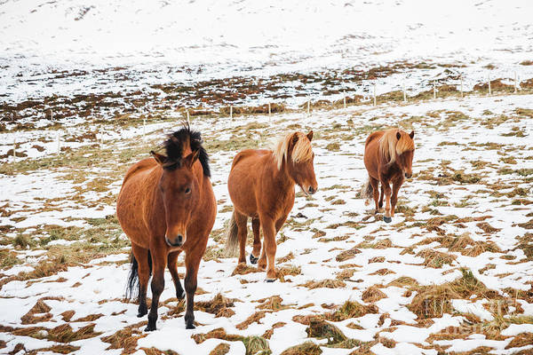 Photograph - Portraits Of Icelandic Race Horses On A Snowy Mountain, Protected Purebred Animals. by Joaquin Corbalan