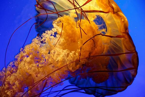 Photograph - Poseidon's Child - Sea Nettle by KJ Swan