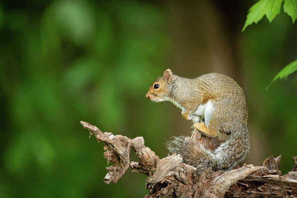 Photograph - Posing Eastern Gray Squirrel by Todd Henson
