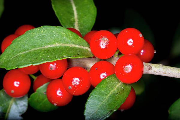 Photograph - Possumhaw Berries by David Morefield