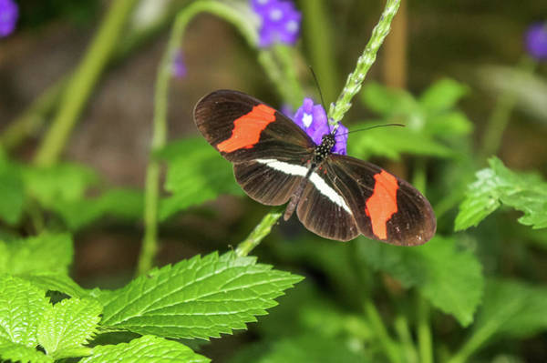 Photograph - Postman Butterfly 1 by Dawn Richards