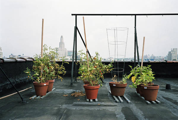 Resourceful Photograph - Potted Tomato Plants On Roof by Robert Warren