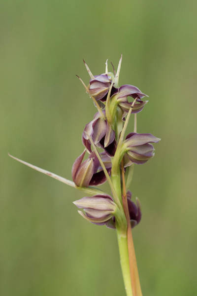 Photograph - Potts' Plume Orchid by Paul Rebmann
