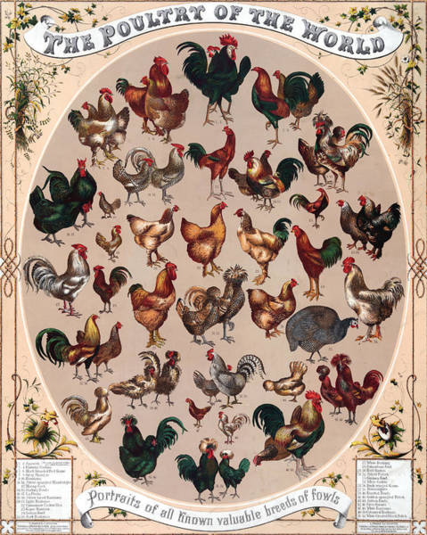 Text Digital Art - Poultry Of The World Poster by Graphicaartis