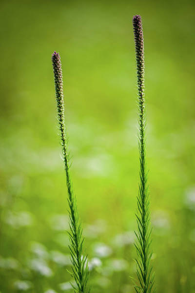 Photograph - Prairie Blazing Star by Jeff Phillippi