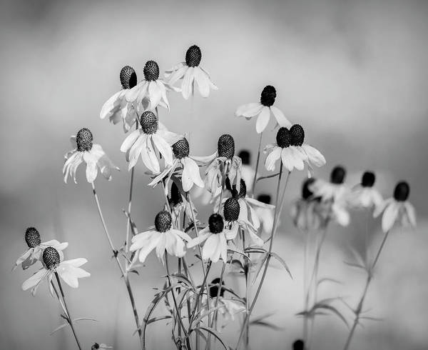 Photograph - Prairie Coneflowers Black And White by Dan Sproul