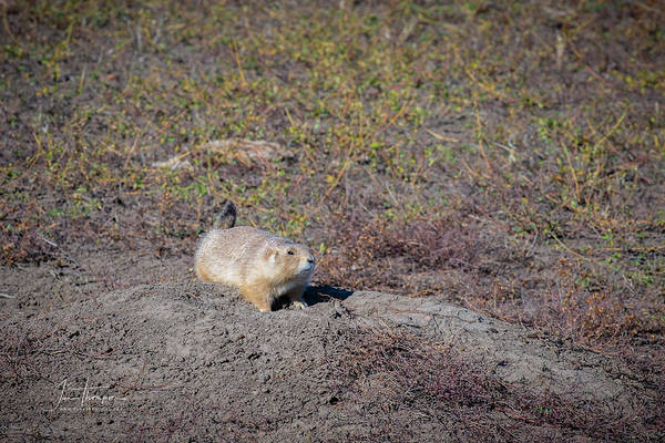 Photograph - Prairie Dog 1 by Jim Thompson