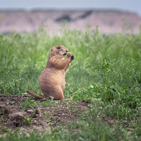 Wall Art - Photograph - Prairie Dog Badlands National Park by Joan Carroll