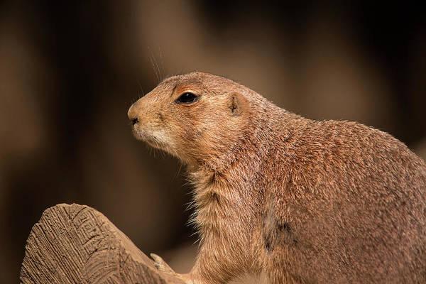 Photograph - Prairie Dog by Don Johnson