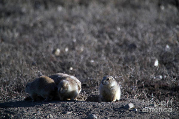 Wall Art - Photograph - Prairie Dog Games by Jeff Swan