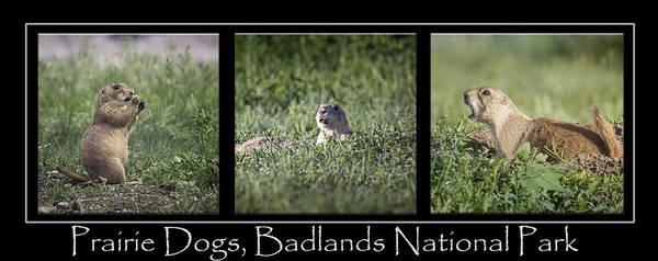 Photograph - Prairie Dog Poster by Joan Carroll