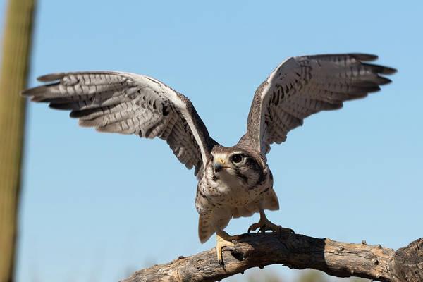 Prairie Falcon Takes Flight Art Print