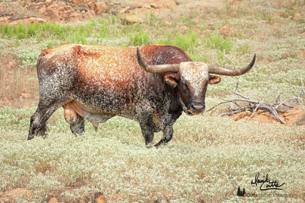 Photograph - Prairie Longhorn by David Cutts