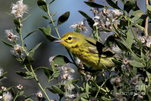 Photograph - Prairie Warbler by Meg Rousher