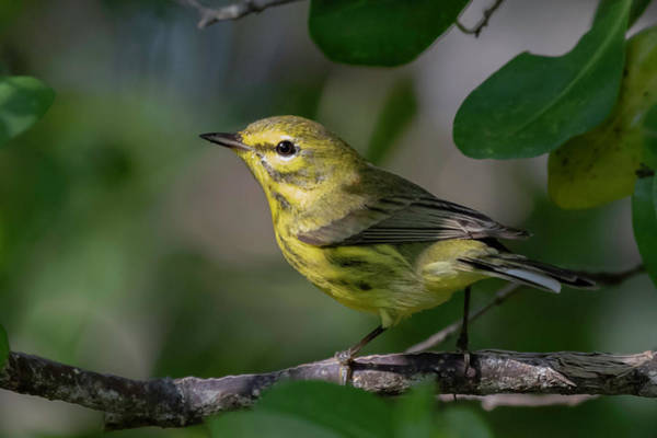 Photograph - Prairie Warbler by Thomas Kallmeyer