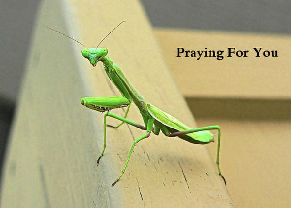 Photograph - Praying Mantis For You by Kathy K McClellan