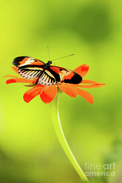 Wall Art - Photograph - Precious Piano Key Butterfly by Sabrina L Ryan