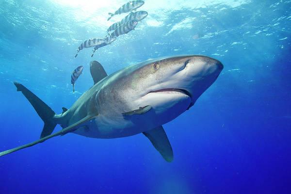 Hunting Island Wall Art - Photograph - Predatory Oceanic Whitetip Shark by Stephen Frink