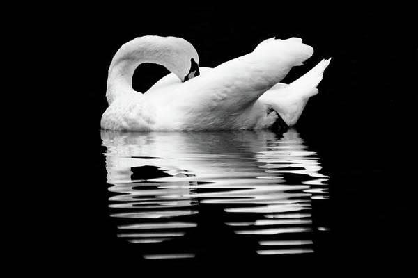 Wall Art - Photograph - Preening Mute Swan Black And White by Mary Ann Artz