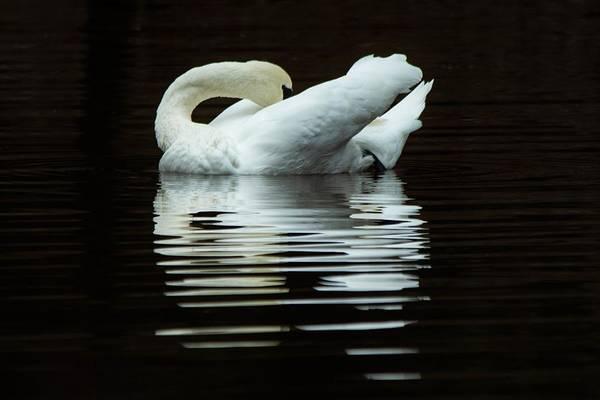 Wall Art - Photograph - Preening Mute Swan by Mary Ann Artz