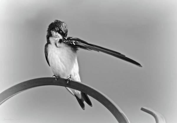 Wall Art - Photograph - Preening Tree Swallow Monochrome by Jennie Marie Schell