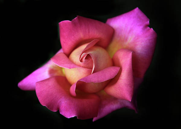 Wall Art - Photograph - Prelude To A Rose by Jessica Jenney