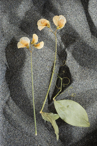 Process Photograph - Pressed Flowers Of Sweet Pea On Sand by Wataru Yanagida