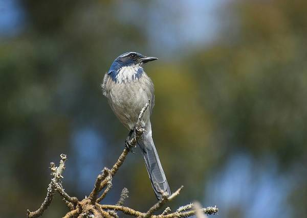 Scrub Jay Photograph - Pretty Blue Scrub 2 by Fraida Gutovich