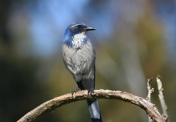Scrub Jay Photograph - Pretty Blue Scrub by Fraida Gutovich