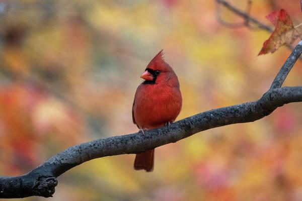 Photograph - Pretty Cardinal by Dan Friend