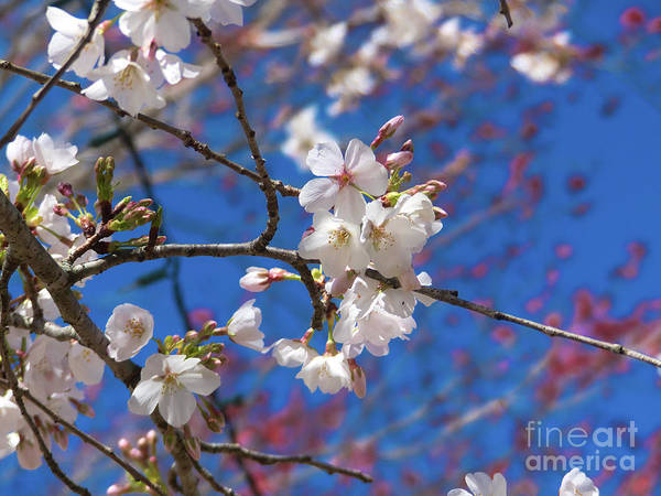 Photograph - Pretty Cherry Blossoms by Amy Dundon