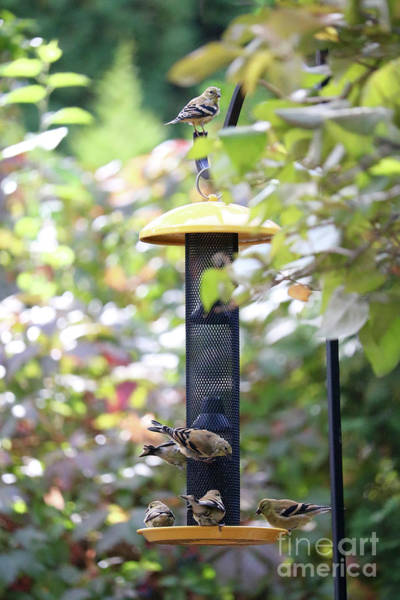 Wall Art - Photograph - Pretty Goldfinches At Feeder by Carol Groenen