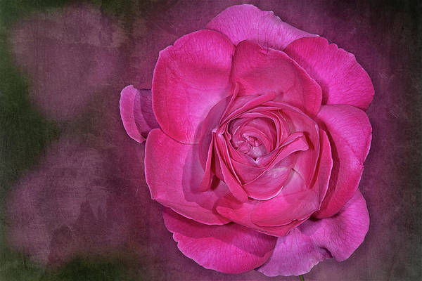 Photograph - Pretty In Pink Rose  by Susan Candelario