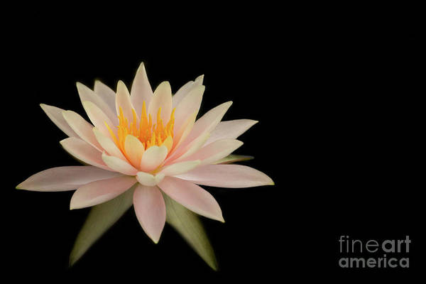 Photograph - Pretty Peach Water Lily by Sabrina L Ryan