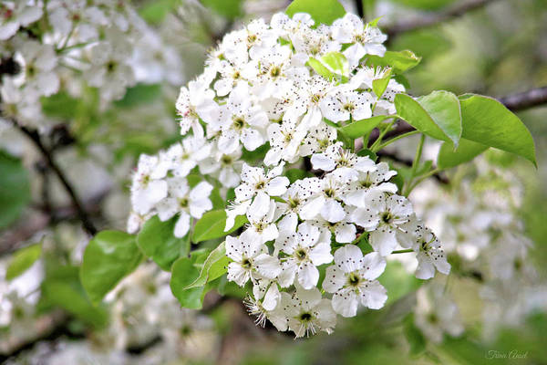 Photograph - Pretty Pear Blossoms by Trina Ansel