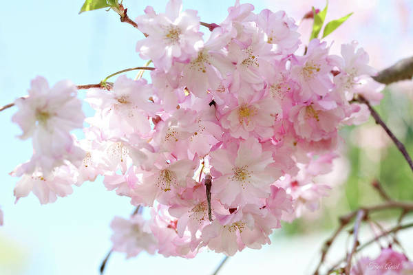 Photograph - Pretty Pink Blossoms by Trina Ansel
