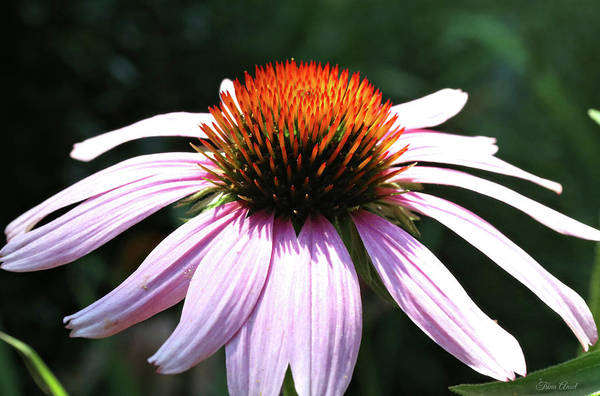 Photograph - Pretty Pink Coneflower by Trina Ansel