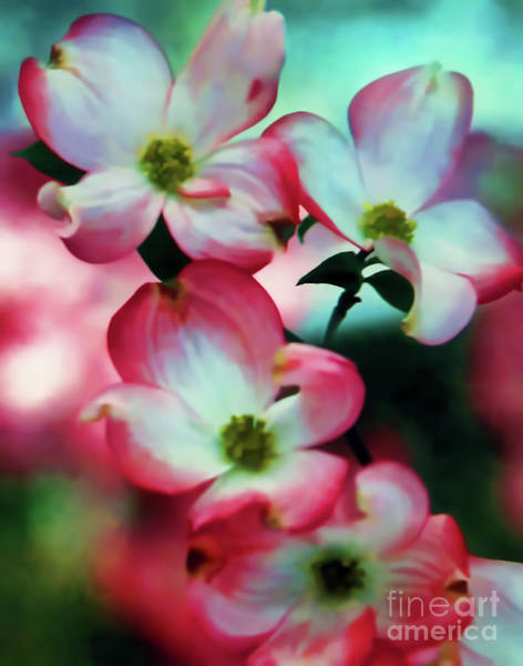 Digital Art - Pretty Pink Dogwood Blossoms by D Hackett