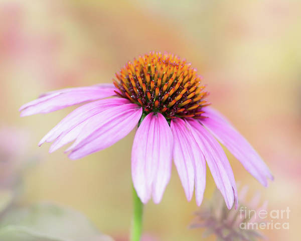 Photograph - Pretty Pink Echinacea by Sabrina L Ryan