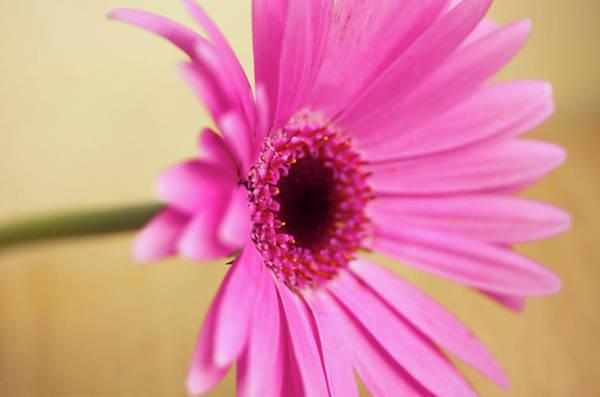 Wall Art - Photograph - Pretty Pink Gerbera Flower by Michaela Gunter